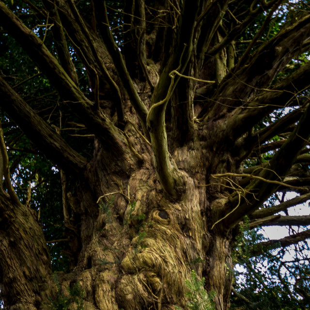 """The Soul of a Yew."" stock image"