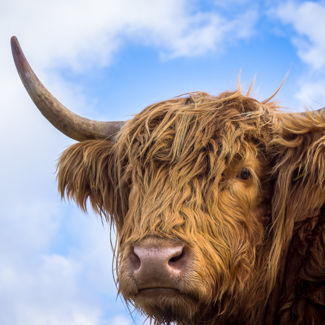 """""""Brown long hair highland cow"""" stock image"""