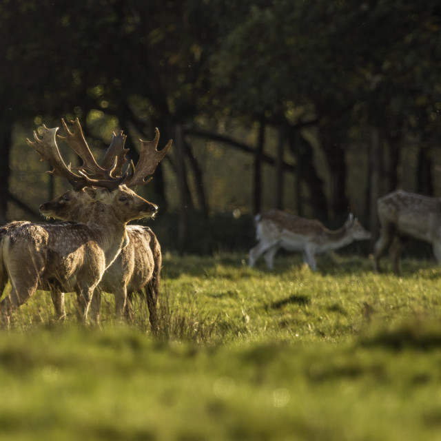 """Deer at Sunset"" stock image"