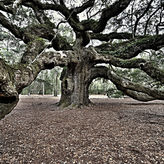 """Angel Oak"" stock image"