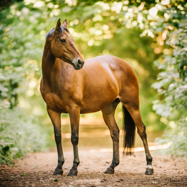 """Thoroughbred horse"" stock image"