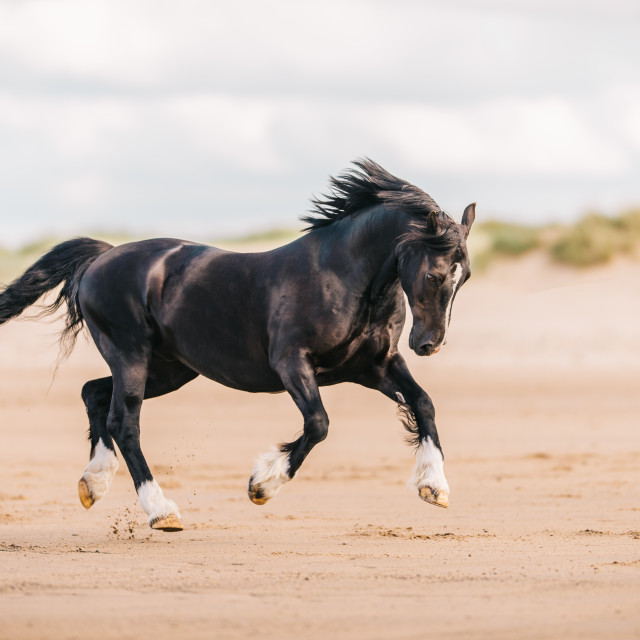 """Cantering welsh cob pony"" stock image"