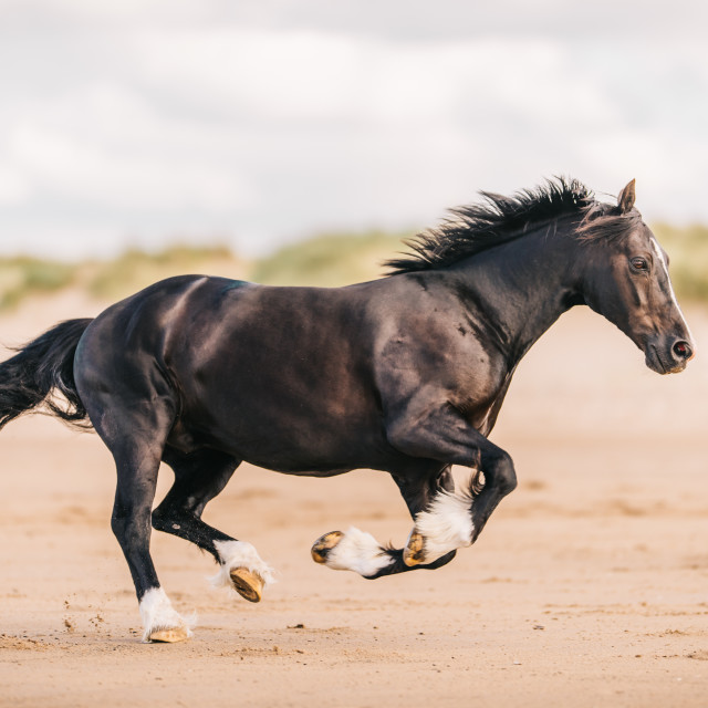 """cantering welsh cob"" stock image"