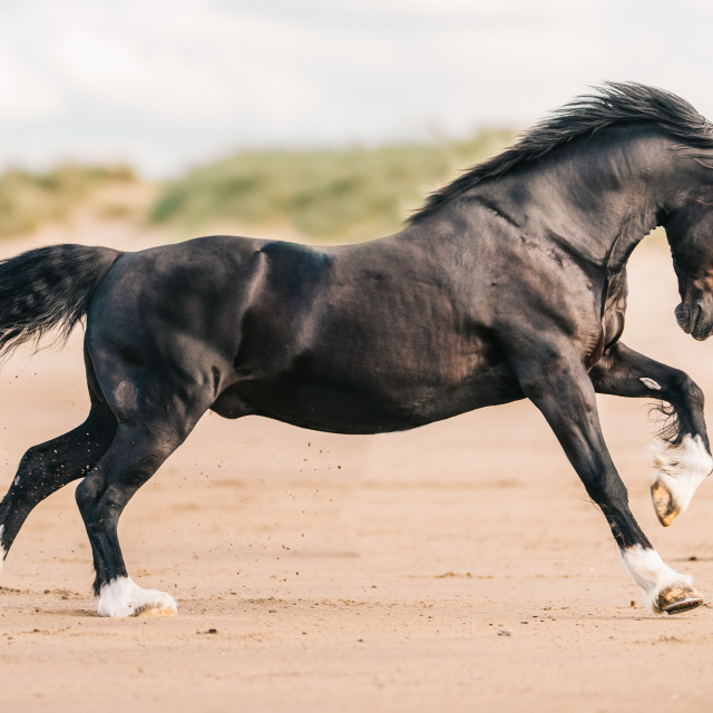 """cantering horse on the beach"" stock image"