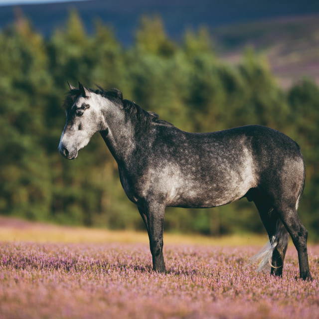 """Connemara pony in heather standing"" stock image"