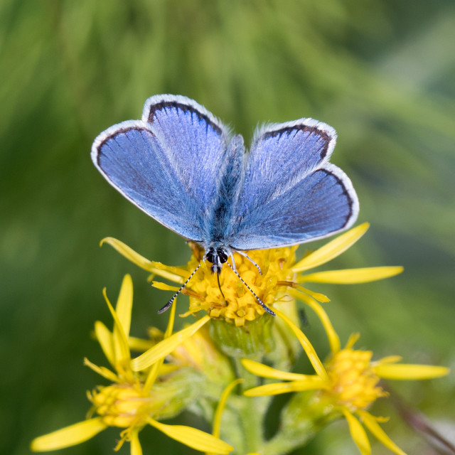 """Bluewing butterfly"" stock image"