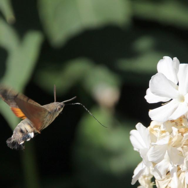 """Hummingbird Hawk Moth"" stock image"