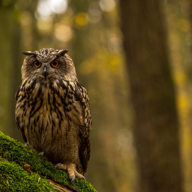 """Eagle Owl ...A portrait"" stock image"