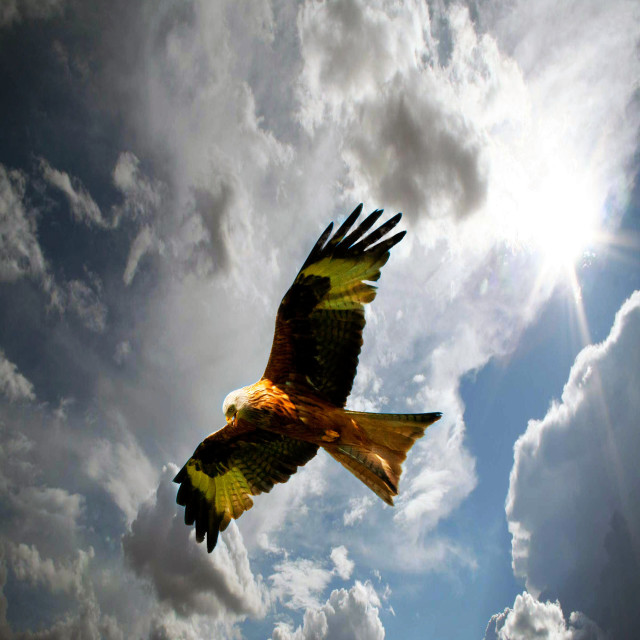 """""""Red Kite hovering."""" stock image"""