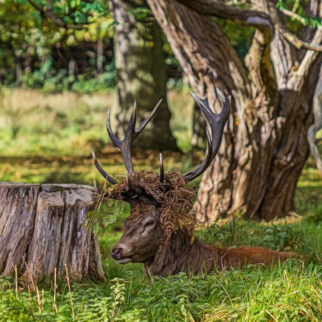 """""""The Stag."""" stock image"""