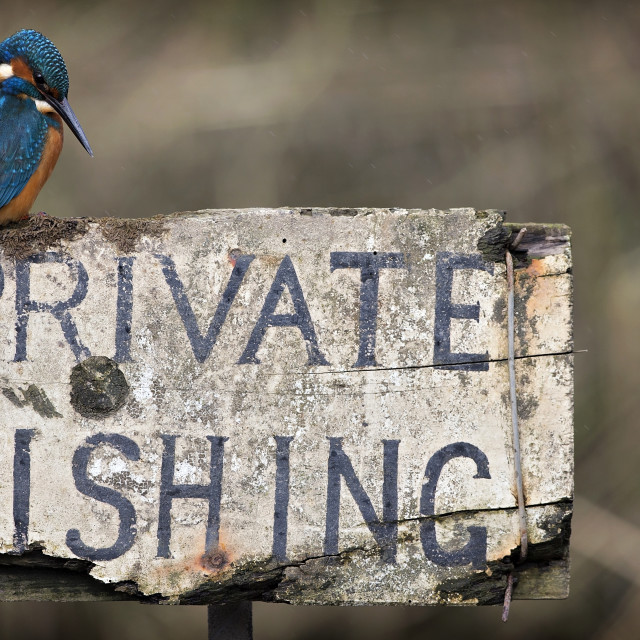 """Kingfisher - Private Fishing"" stock image"