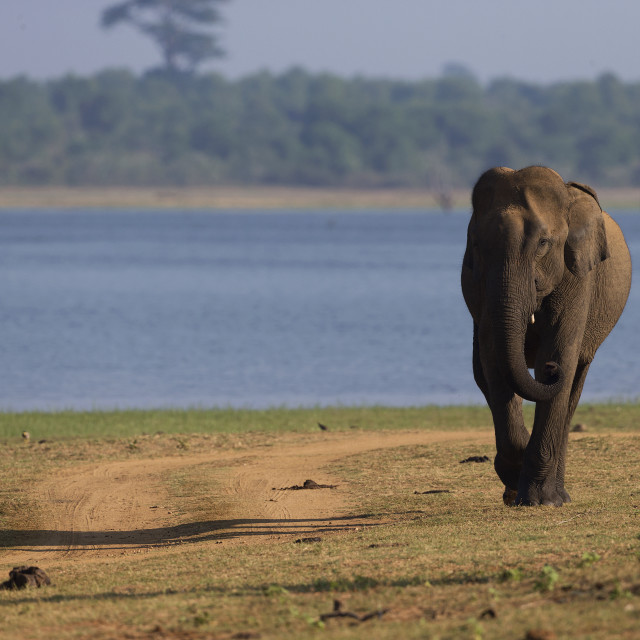 """Elephant in the early morning light in Sri Lanka NP"" stock image"
