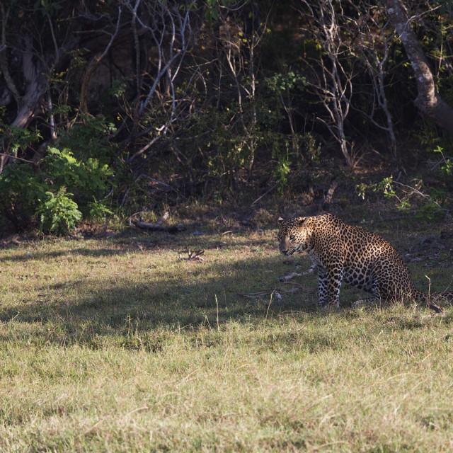 """Sri Lankian Leopard"" stock image"