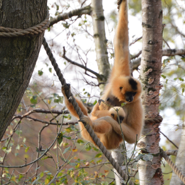 """""""Female with Young Golden-Cheeked Gibbon"""" stock image"""