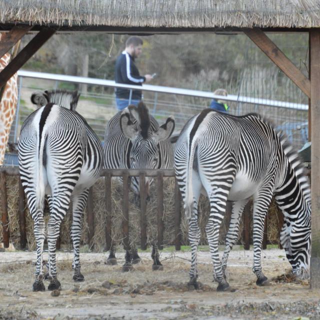 """Zebra .....Crossing"" stock image"