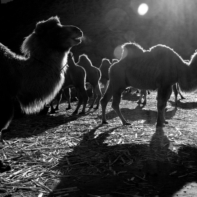 """Backlit Bactrian Camels"" stock image"