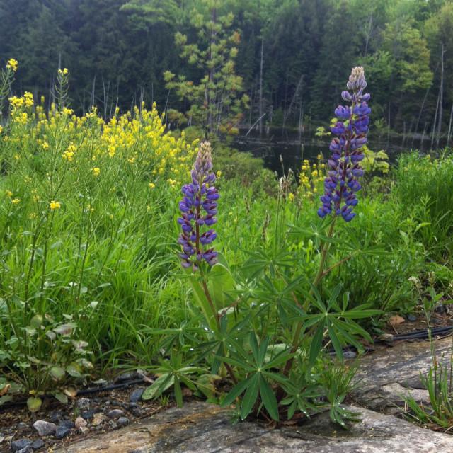 """Wildflowers in Muskoka"" stock image"