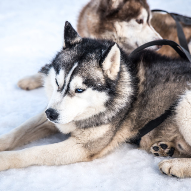 """Sled Dogs"" stock image"