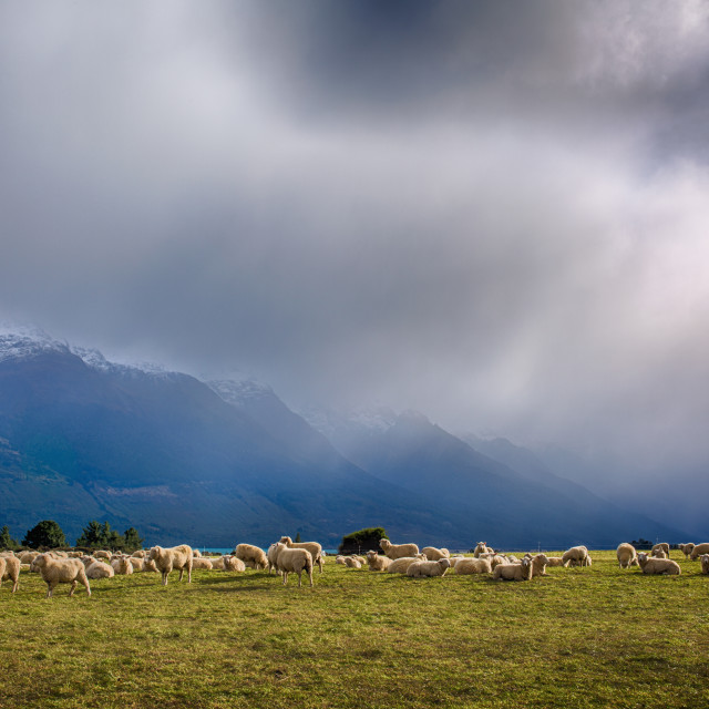 """Sheep bathed in later afternoon sunburst after rain, Glenorchy, New Zealand"" stock image"
