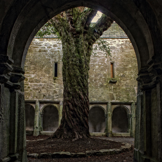 """Yew Tree & Cloister"" stock image"