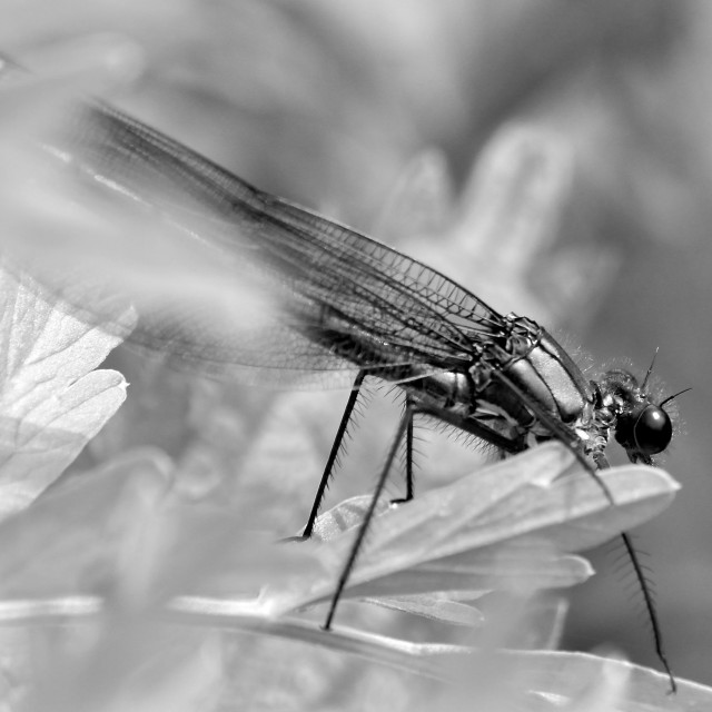 """""""Damsel fly in mono"""" stock image"""