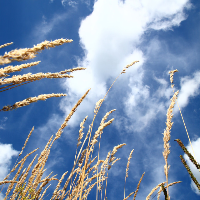 """Ornamental grass"" stock image"