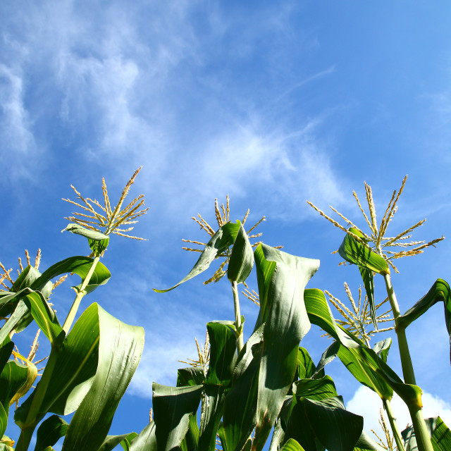 """Crop of sweetcorn"" stock image"
