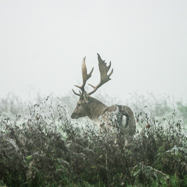 """Stag in the mist"" stock image"