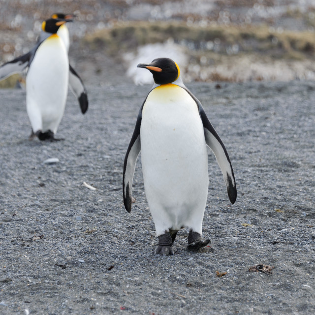"""King penguins on South Georgia island"" stock image"