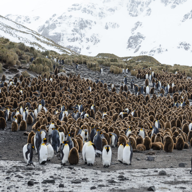 """""""king penguins with chiks on South Georgia island"""" stock image"""