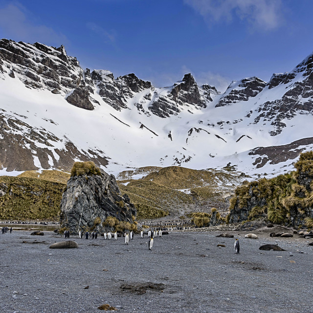 """""""south Georgia landscape with king penguins"""" stock image"""