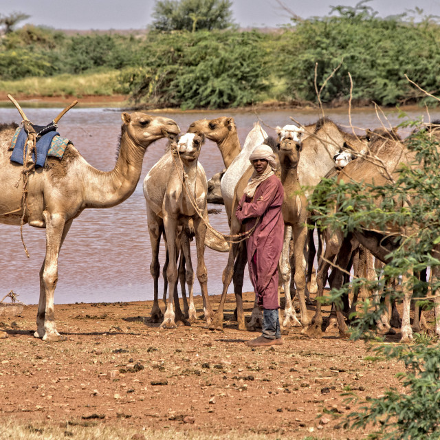 """Peul man with his herd of camels near salt pools in Niger, Africa"" stock image"