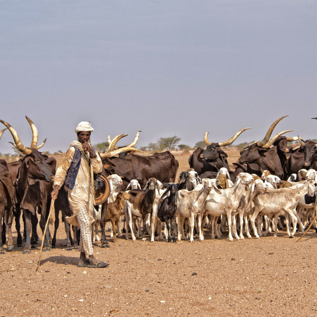 """Abdoulaye - young Peul man with his herd of cattle, Niger, Africa"" stock image"