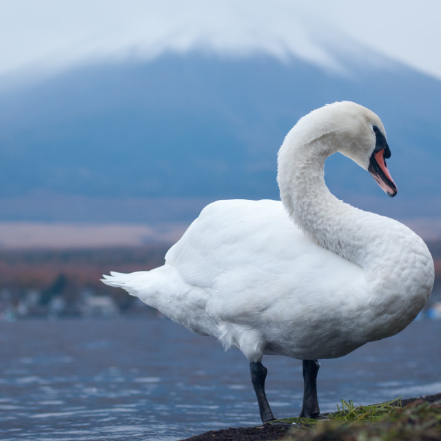 """White swan and Mt Fuji"" stock image"