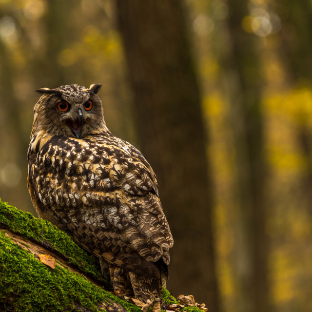 """An eagle owl...hooting/portrait"" stock image"