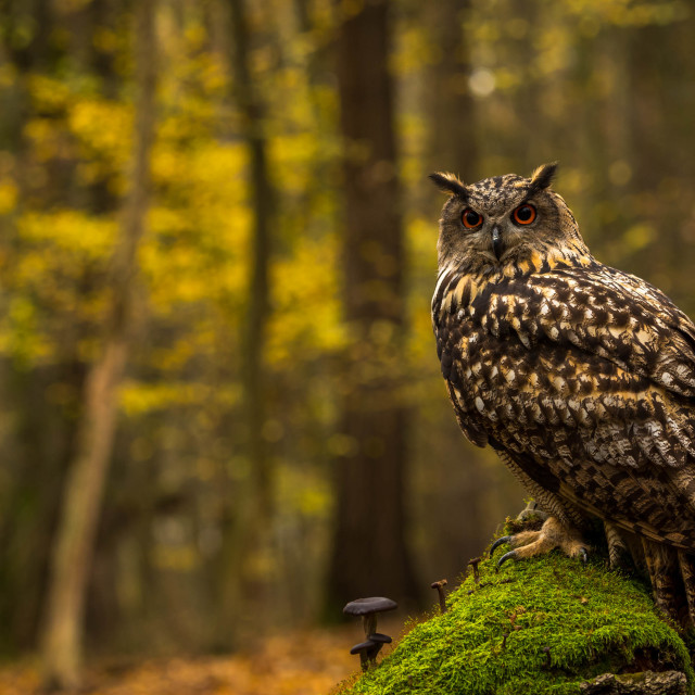 """An eagle owl"" stock image"
