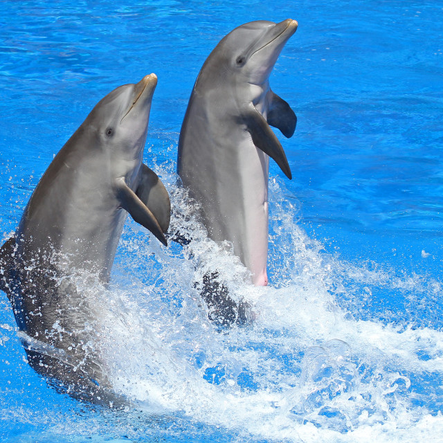 """Two Bottlenose Dolphins"" stock image"