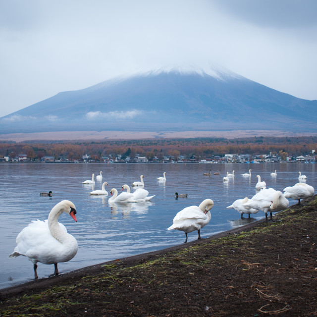"""White swans and Mt Fuji"" stock image"