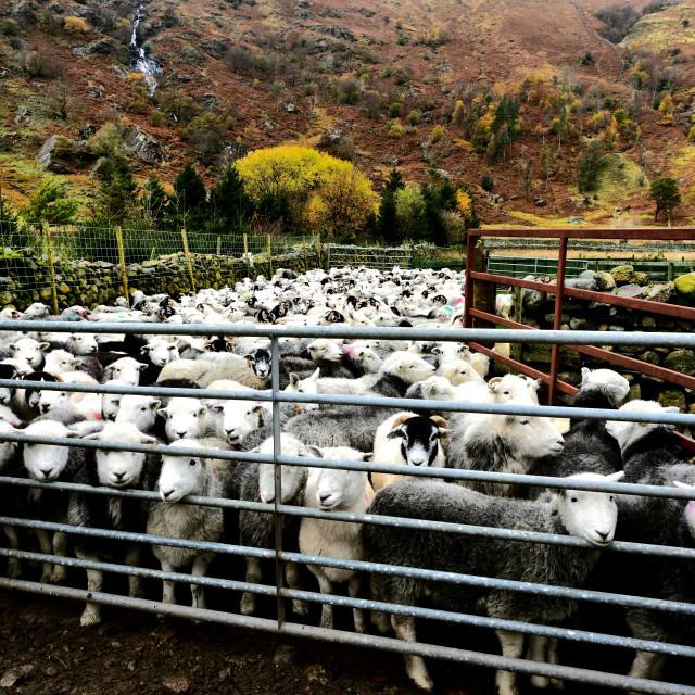 """Flock of Herdwick Sheep"" stock image"