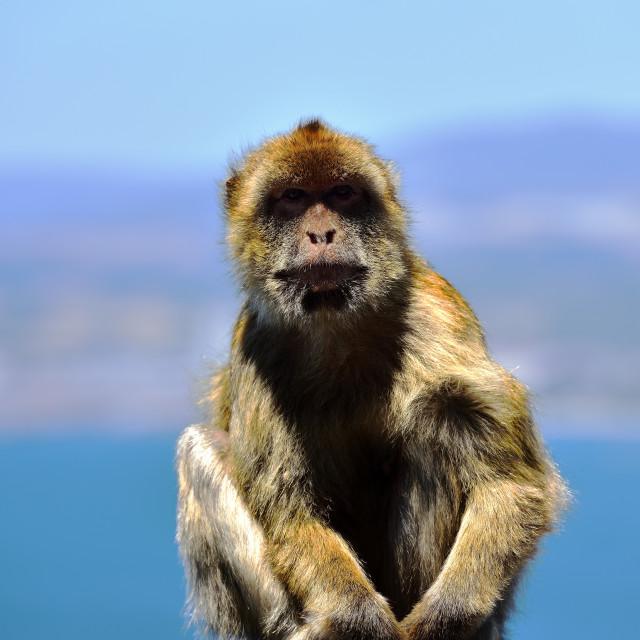 """Gibraltar Barbary macaque"" stock image"