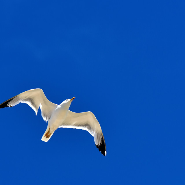 """European herring gull"" stock image"