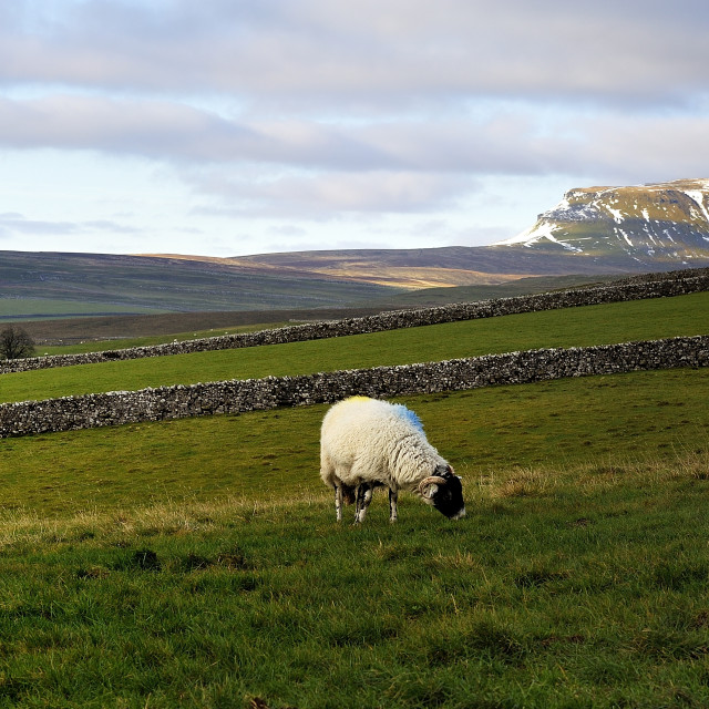 """""""Sheep and Yorkshire Dales"""" stock image"""
