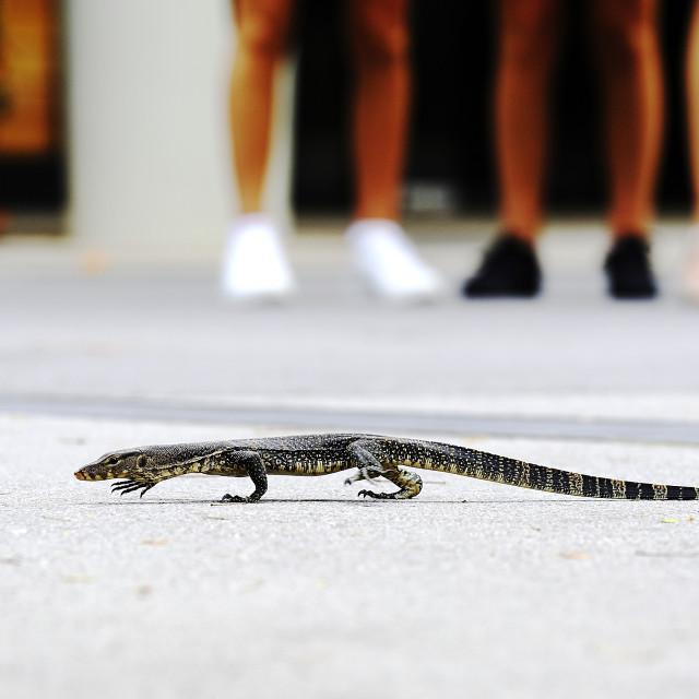 """iguanian lizard"" stock image"