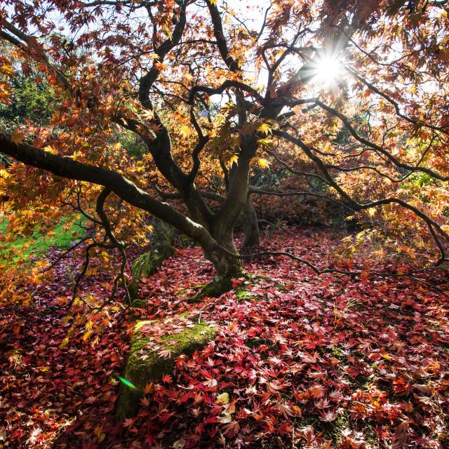 """Autumn Maple"" stock image"