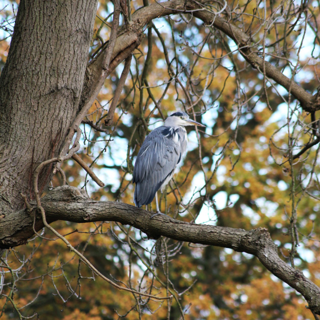 """""""Heron in the trees"""" stock image"""