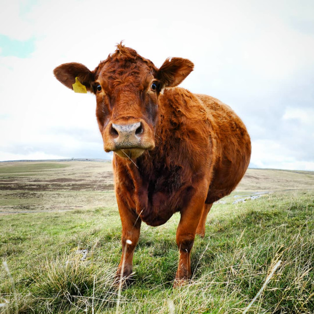 """""""Limousin Cow"""" stock image"""
