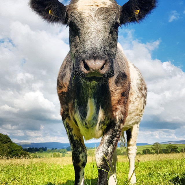 """Blue-Grey Cross Cow Close-up"" stock image"