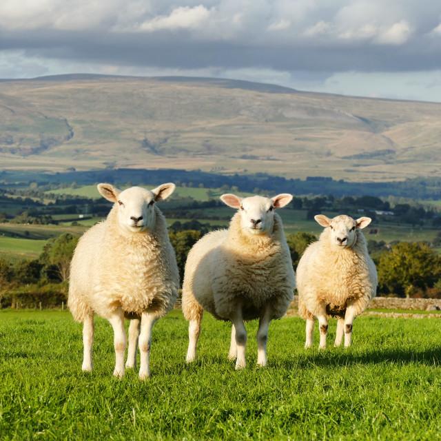 """Texel Cross Lambs"" stock image"
