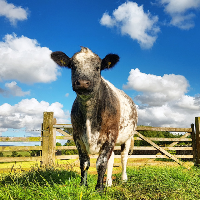 """Blue-Grey Cross Cow"" stock image"