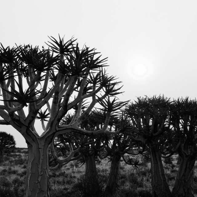 """""""Quiver tree silhouette"""" stock image"""